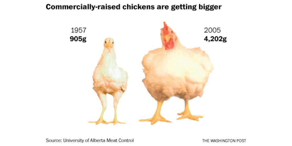 Estas especies de pollo de rápido crecimiento son conocidas como Frankenpollos y podrían crear nuevas pandemias catastróficas.