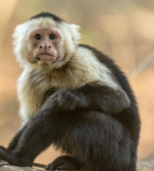 Un grupo de monos llegó a la Edad de Piedra
