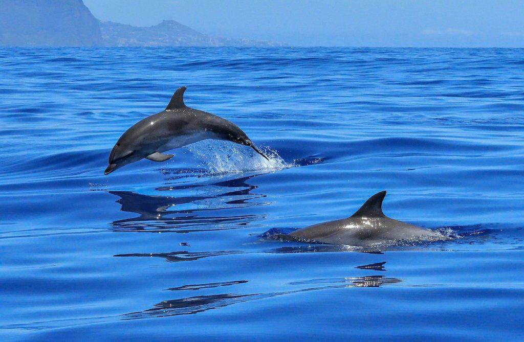 Además, el bisonte europeo también cambió su status de extinción. El delfín gris se agrega a la lista de animales en peligro de extinción.